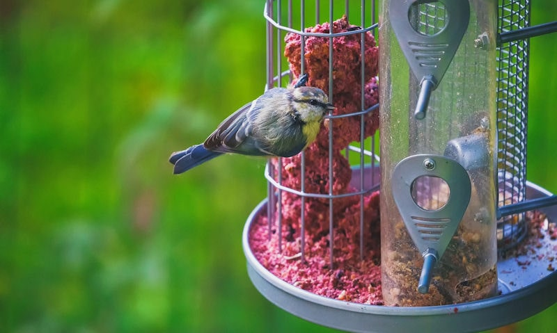 Blue Tit is seen rested on the suet cage of a 3 in 1 bird feeder