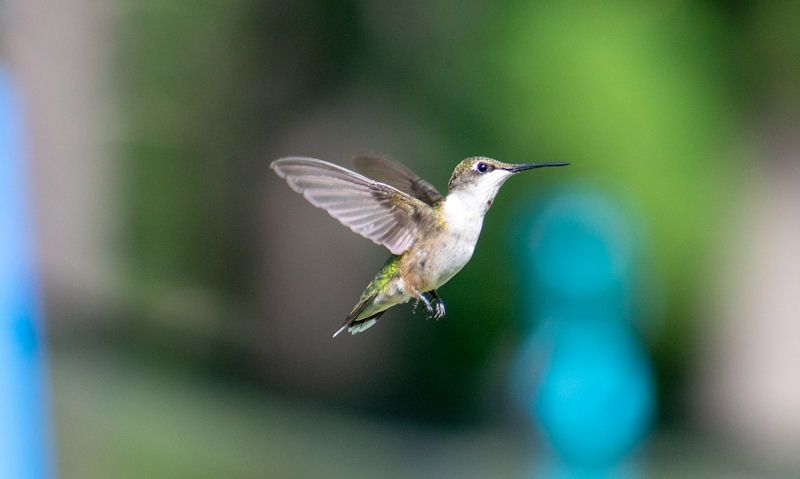 Are there Hummingbirds in UK