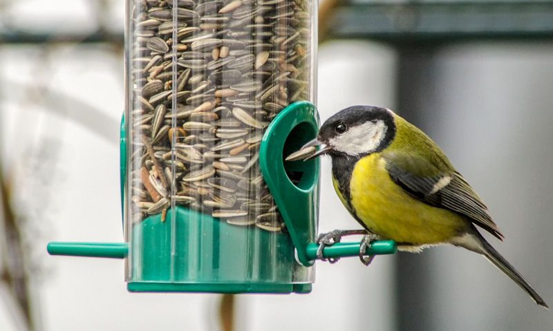 Great Tit feeding from sunflower seed feeder