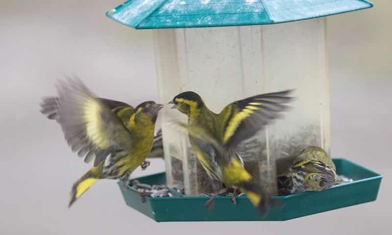 Wild birds converge on hanging lantern seed feeder