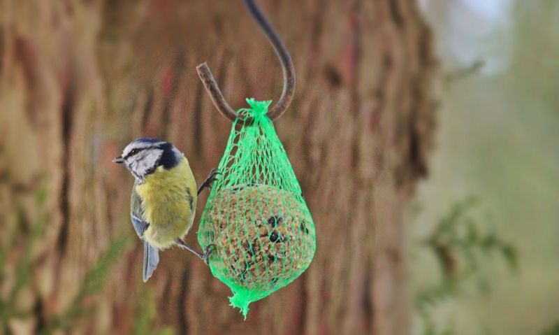 Blue Tit clinged onto fat ball netting