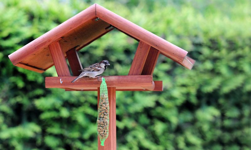 Sparrow investigates fat balls hanging off wooden bird table