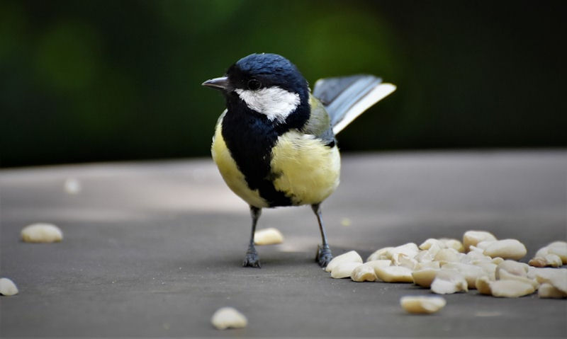 Great Tit standing amongst loose peanuts to feed off on surface