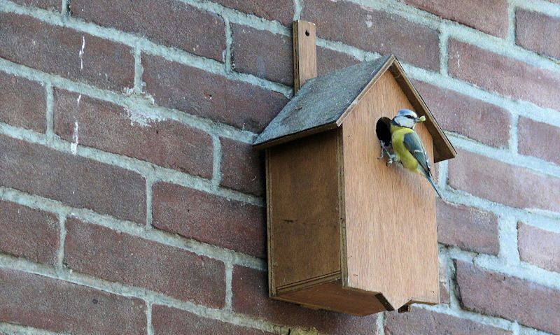 Blue Tit inspecting entrance hole of bird box