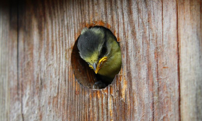 Birds head in bird box hole