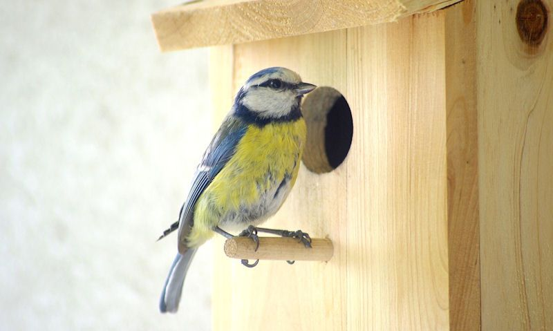 Blue Tit standing on a bird box perch