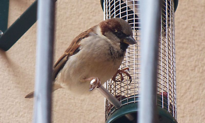 Sparrow perched on feeder off bracket behind railings