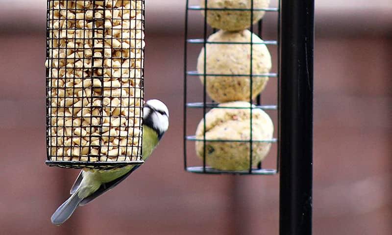Blue Tit feeding on hanging suet pellets on bird feeding station