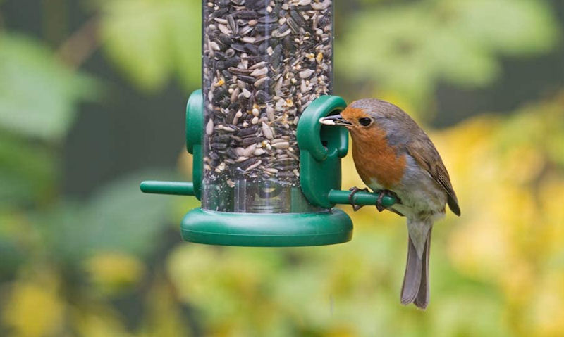 Robin seen with seed in mouth perched on small hanging seed feeder