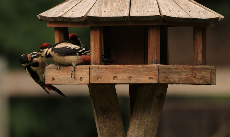 Great Spotted Woodpeckers occupy wooden bird table on stand
