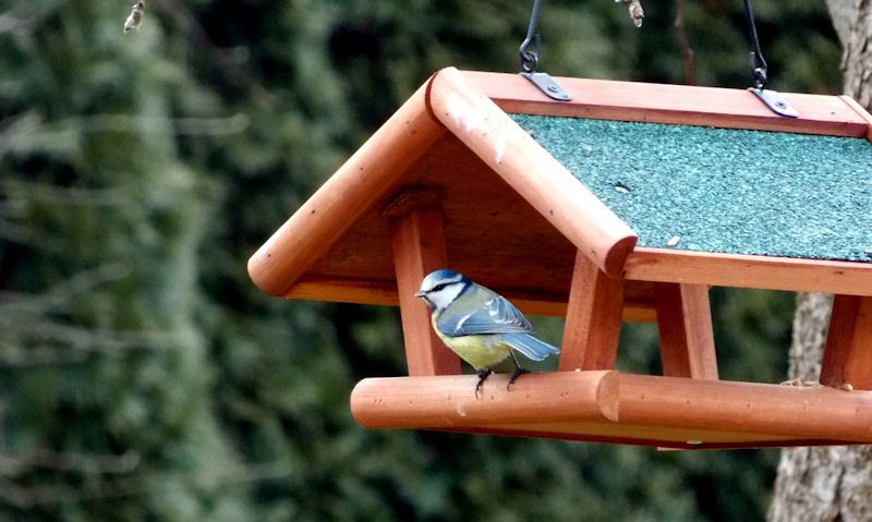 Blue Tit perched on hanging bird table