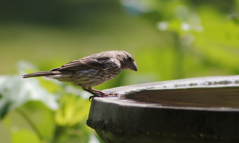 Sparrow perched around rim of stone bird bath