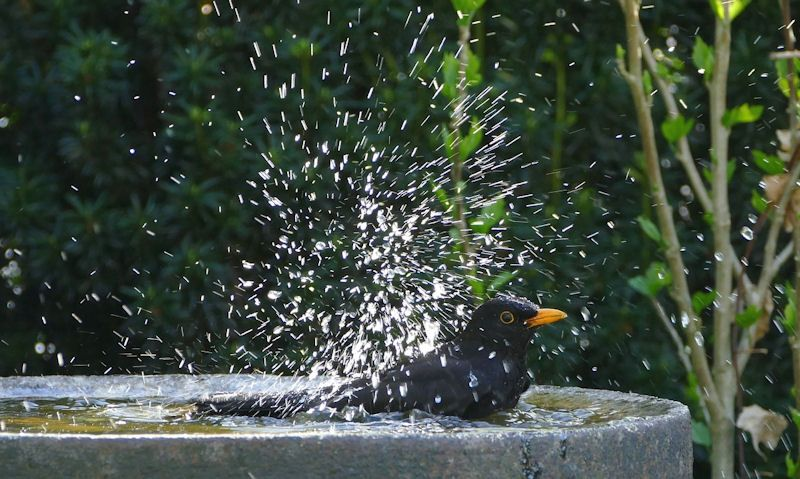 Blackbird bathing in bird bath