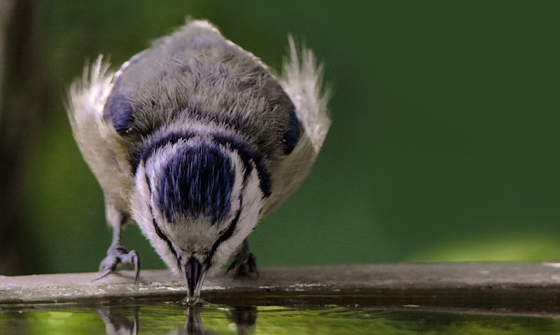 Blue Tit drinking water from bird bath