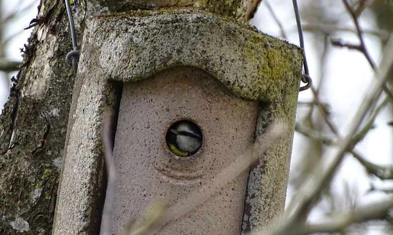 Blue Tit looking at camera through bird box hole