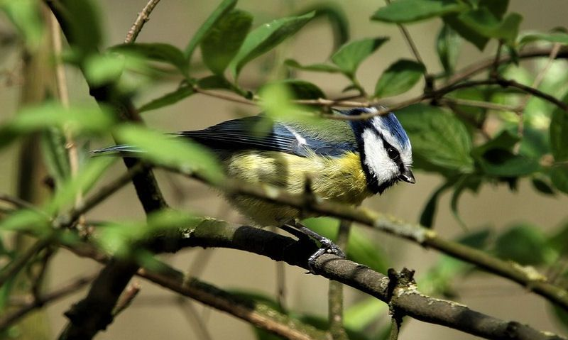 Blue Tit perched on branch