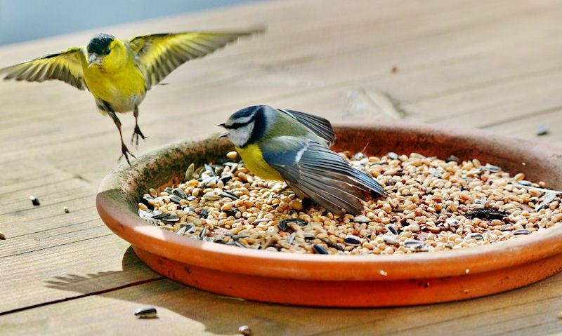 Blue Tits with a bowl of seeds on outdoor table