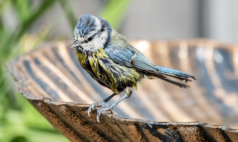 Young Blue Tit perched on rim of plastic bronze effect bird bath