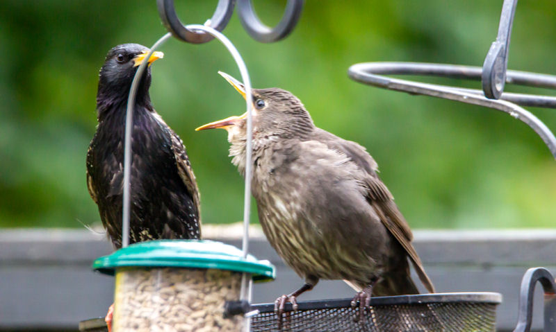 Blackbird and young perched on too close together hanging bird feeders