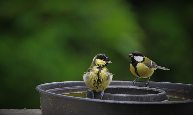 Great Tit and her chick perched around rim of metal bird bath