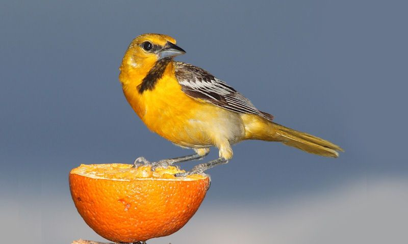 Can wild birds eat oranges