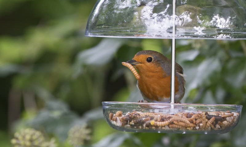 Red breasted Robin seen with mealworm in beak perched on feeder tray