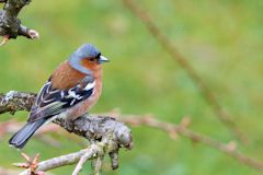 Chaffinch perched on branch