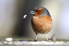 Chaffinch losing seed