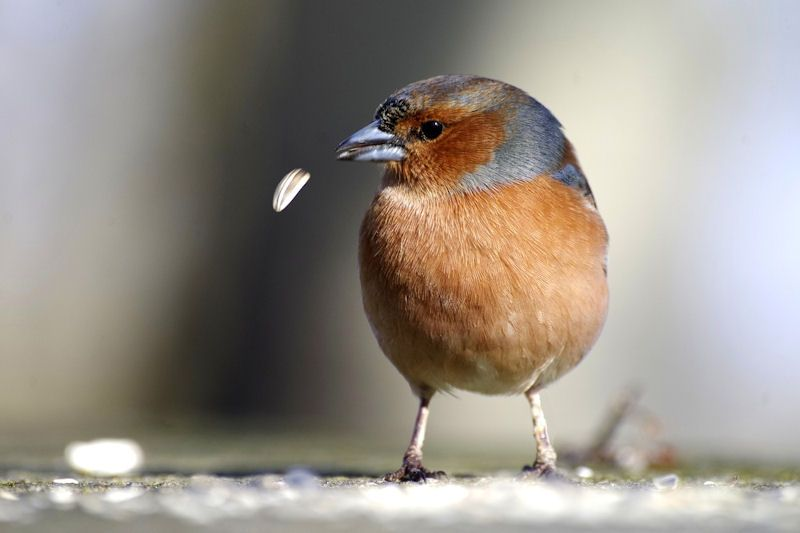 Chaffinch losing a seed