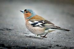 Chaffinch on gritty ground