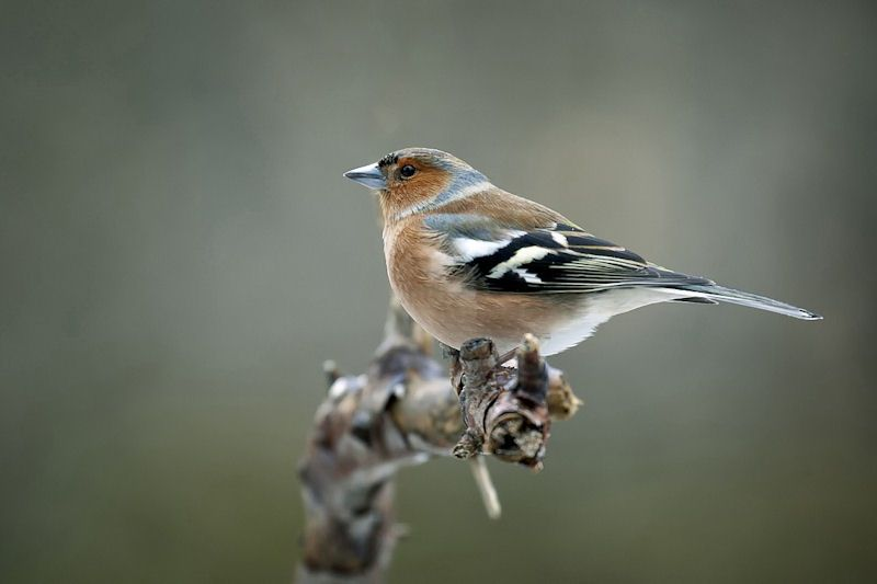Profile picture of a Chaffinch