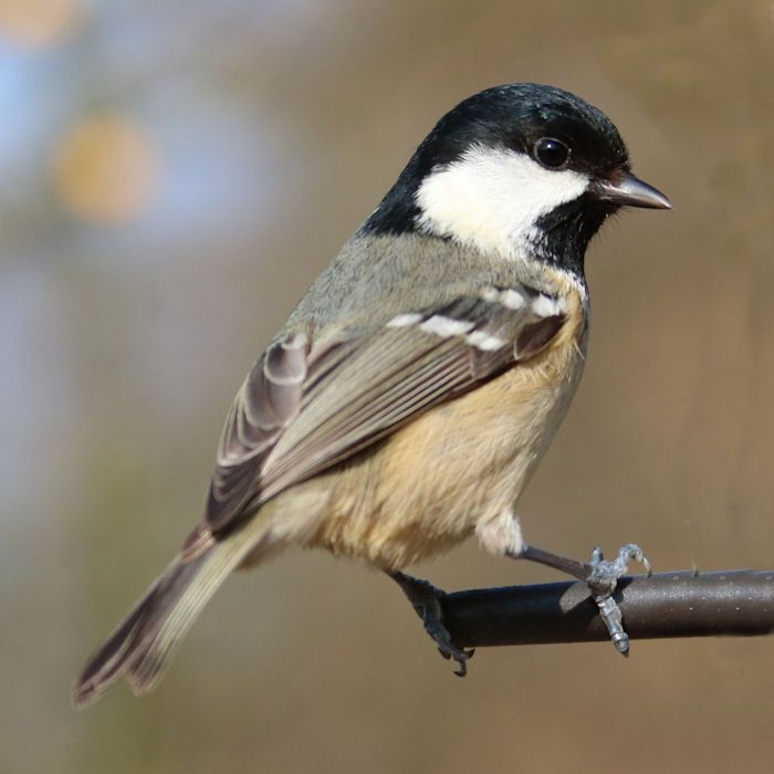 Coal Tit on end of perch