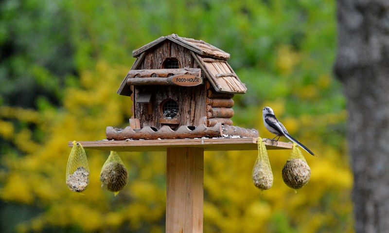 Long-Tailed Tit perched on rim of bird table open flat feeding platform