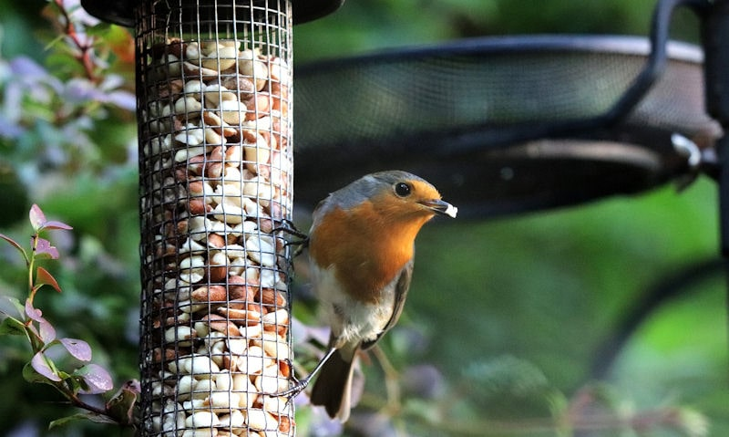 Robin clinging onto mesh peanut bird feeder, hanging off feeding station