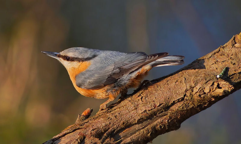 Beautiful profile shot of Nuthatch perched on thick tree branch at sunset