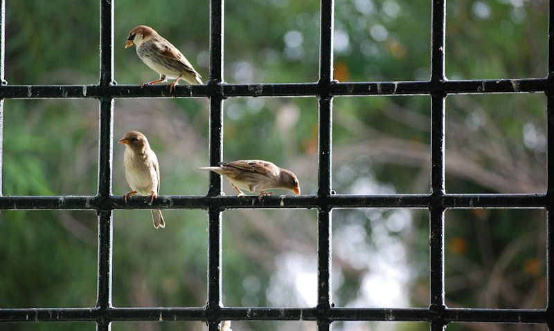 Aparrows perched in window bars