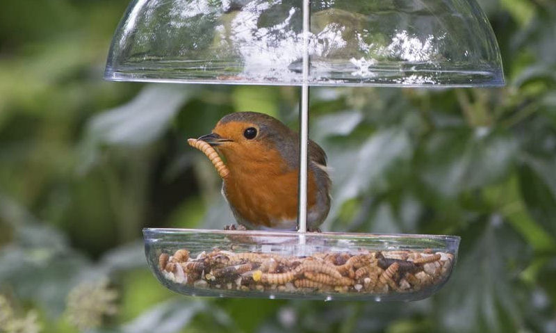 Robin with dried mealworm in mouth, perched on hanging bird feeding tray under dome