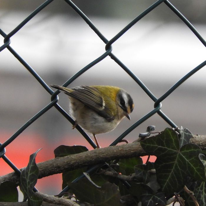 Looking at Firecrest through wired fence