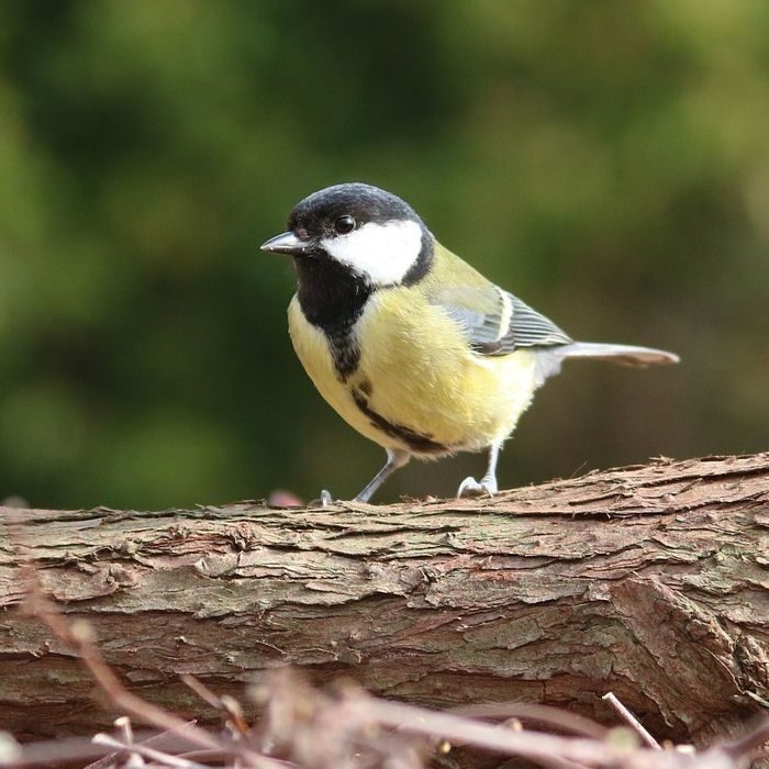 Great Tit standing on log