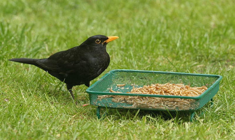 Blackbird using mesh ground bird feeding tray sitting on lawn