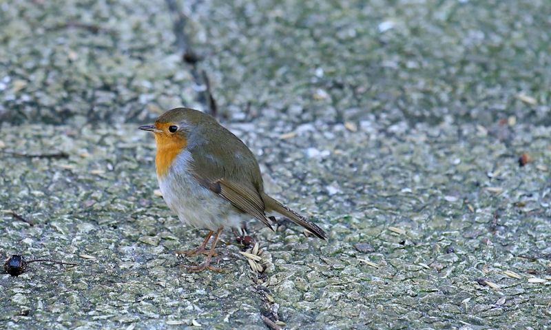 Young Robin is seen on a concrete patio