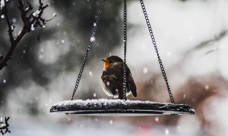 Robin using hanging feeder tray in snowy conditions