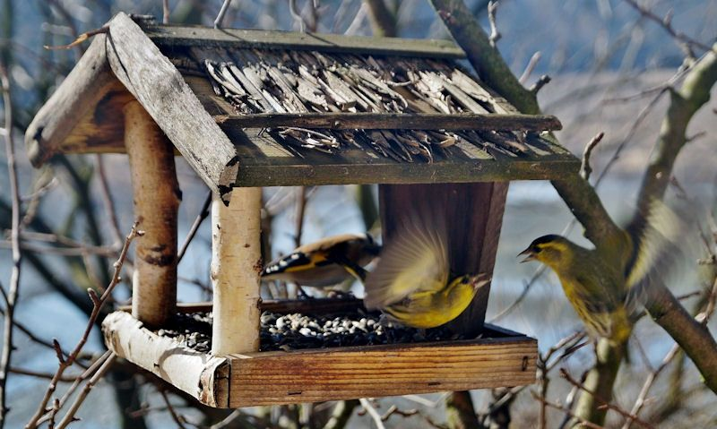 Finches squabble on hanging bird table