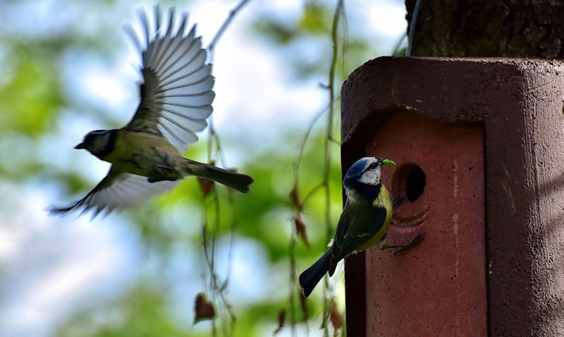 Perched, flying away Blue Tits at entrance hole