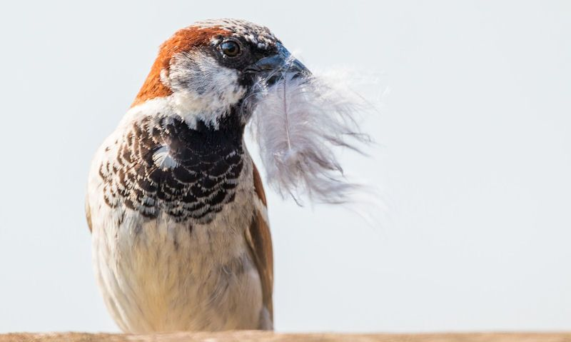 House Sparrow with feather in mouth