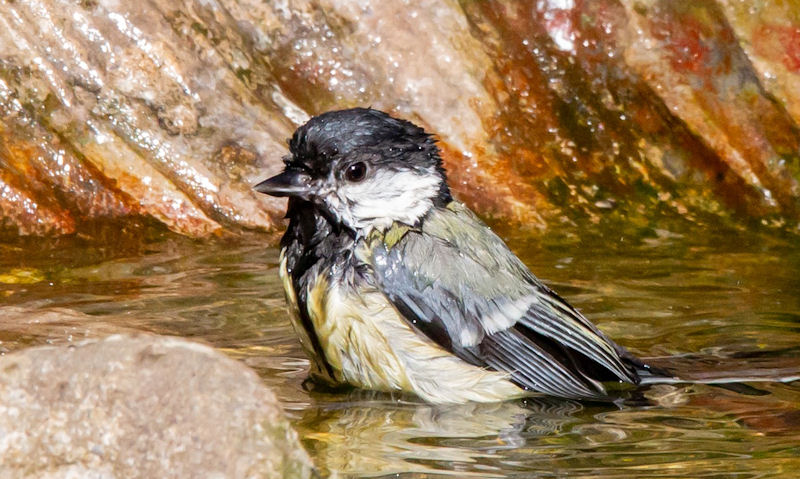 Great Tit sat in shallow cast iron bird bath bowl of water