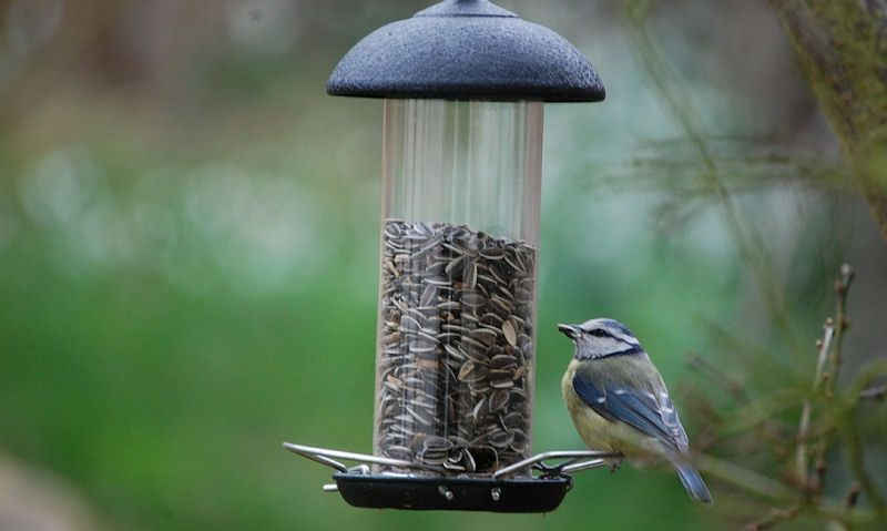 Blue Tit perched on sunflower seed, hanging clear plastic tube feeder