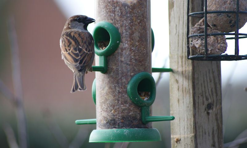Sparrow feeding off dirty clear plastic tube seed feeder hanging up