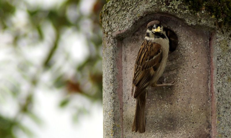 Sparrow perched on entrance hole of woodcrete nest box