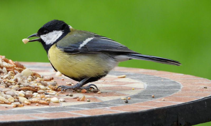 Great Tit standing on decorative table with peanut bit in beak